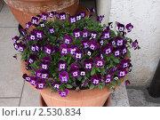 Купить «Фиалки в горшке», фото № 2530834, снято 24 апреля 2011 г. (c) Ольга Лерх Olga Lerkh / Фотобанк Лори