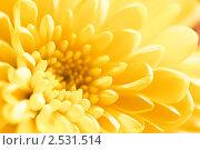 Крупный план хризантемы. Мягкий фокус. Стоковое фото, фотограф Валерия Лузина / Фотобанк Лори