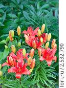 Купить «Красные лилии на зеленом фоне», фото № 2532790, снято 16 июня 2010 г. (c) Александр Косарев / Фотобанк Лори