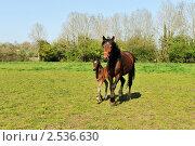 Купить «Лошадь с жеребенком бегут по траве», фото № 2536630, снято 28 апреля 2011 г. (c) Татьяна Кахилл / Фотобанк Лори