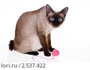 Купить «Кошка породы меконгский бобтейл», фото № 2537422, снято 1 мая 2011 г. (c) Nelli / Фотобанк Лори