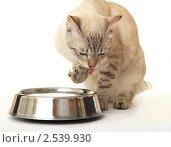 Купить «Кошка сидит возле миски с водой», фото № 2539930, снято 20 апреля 2011 г. (c) Юлия Машкова / Фотобанк Лори