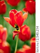 Тюльпан. Стоковое фото, фотограф Павел Каменских / Фотобанк Лори