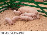 Свиноматка с поросятами в загоне. Стоковое фото, фотограф Игорь Чекаев / Фотобанк Лори