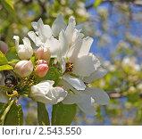 Купить «Цветение яблони», фото № 2543550, снято 16 мая 2011 г. (c) Татьяна Злобина / Фотобанк Лори