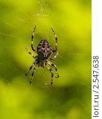 Купить «Крупный пестрый паук на паутине», фото № 2547638, снято 20 августа 2010 г. (c) Олег Рубик / Фотобанк Лори
