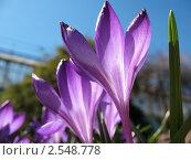 Купить «Фиолетовый крокус на фоне голубого неба», фото № 2548778, снято 20 апреля 2011 г. (c) Заноза-Ру / Фотобанк Лори