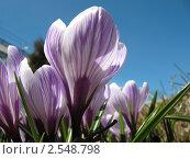 Купить «Белый крокус с лиловыми прожилками на фоне голубого неба», фото № 2548798, снято 20 апреля 2011 г. (c) Заноза-Ру / Фотобанк Лори