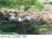 Овцы с ягнятами в тени дерева. Стоковое фото, фотограф Татьяна Кахилл / Фотобанк Лори