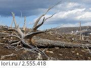 Купить «Погибший лес на склоне сопки», фото № 2555418, снято 24 мая 2011 г. (c) Валерий Александрович / Фотобанк Лори