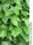 Купить «Растительный фон из листьев. Плющ обыкновенный.Hedera helix», фото № 2556390, снято 24 мая 2011 г. (c) Федор Королевский / Фотобанк Лори