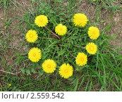 От природы - с любовью. Цветы одуванчика, растущие в виде сердца. Стоковое фото, фотограф Анастасия Кудряшова / Фотобанк Лори