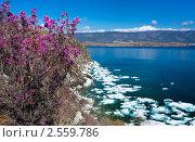 Весенний цвет багульника на берегу  Байкала. Стоковое фото, фотограф Виктория Катьянова / Фотобанк Лори