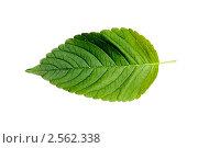 Зеленый лист. Стоковое фото, фотограф Величко Микола / Фотобанк Лори