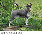 Купить «Миттельшнауцер в стойке на зеленой траве», фото № 2564258, снято 28 мая 2011 г. (c) Fro / Фотобанк Лори