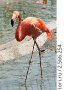 Купить «Розовый фламинго. Московский зоопарк», фото № 2566254, снято 29 мая 2011 г. (c) Екатерина Овсянникова / Фотобанк Лори