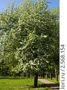 Купить «Цветущее дерево», фото № 2568154, снято 11 мая 2011 г. (c) ИВА Афонская / Фотобанк Лори