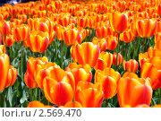 Тюльпаны. Стоковое фото, фотограф Володимир Щербина / Фотобанк Лори
