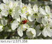 Ветка вишни в цвету с божьей коровкой. Стоковое фото, фотограф Багира / Фотобанк Лори