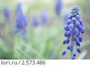 Группа синих цветов в зеленой траве. Стоковое фото, фотограф Алена Зубакова / Фотобанк Лори
