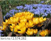 Купить «Желтый крокус и хионодокса», фото № 2574282, снято 20 апреля 2011 г. (c) Заноза-Ру / Фотобанк Лори