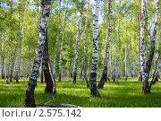 Купить «Берёзовая роща», фото № 2575142, снято 20 мая 2011 г. (c) Елена Блохина / Фотобанк Лори