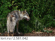 Волчица в Ленинградском зоопарке. Стоковое фото, фотограф Елена Бабаина / Фотобанк Лори