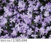 Купить «Сиреневые цветы», эксклюзивное фото № 2585694, снято 29 мая 2011 г. (c) Михаил Карташов / Фотобанк Лори