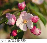 Купить «Цветущая яблоня», фото № 2589750, снято 22 февраля 2019 г. (c) Виталий Горелов / Фотобанк Лори