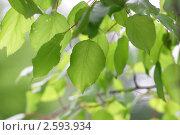 Зеленая листва. Напросвет. Стоковое фото, фотограф Tatiana Aprel'skaya / Фотобанк Лори