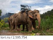 Индийские слоны. Стоковое фото, фотограф Иван Носов / Фотобанк Лори