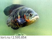 Аквариумная рыба. Стоковое фото, фотограф Татьяна Белова / Фотобанк Лори
