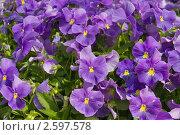 Купить «Цветочный ковер из анютиных глазок», фото № 2597578, снято 11 июня 2011 г. (c) Fro / Фотобанк Лори