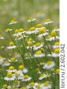 Цветы. Ромашка аптечная. Стоковое фото, фотограф Tatiana Aprel'skaya / Фотобанк Лори
