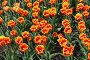 Тюльпаны  красные с желтой бахромой, фото № 2606858, снято 6 мая 2009 г. (c) Петрова Ольга / Фотобанк Лори