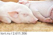 Купить «Поросенок спит», фото № 2611306, снято 15 сентября 2019 г. (c) Дмитрий Калиновский / Фотобанк Лори