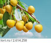 Желтая черешня. Стоковое фото, фотограф Николай Кокарев / Фотобанк Лори