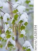 Купить «Молодые березовые листья в снегу», фото № 2620814, снято 23 мая 2011 г. (c) Икан Леонид / Фотобанк Лори