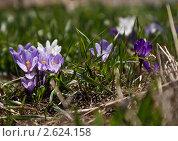 Крокусы в траве. Стоковое фото, фотограф Москалёва Ольга / Фотобанк Лори