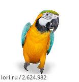 Сине-желтый попугай. Стоковое фото, фотограф Курганов Александр / Фотобанк Лори