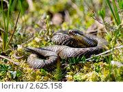Купить «Гадюка на болоте», фото № 2625158, снято 3 июня 2011 г. (c) Икан Леонид / Фотобанк Лори