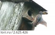 Купить «Скворец кормит птенца», видеоролик № 2625426, снято 6 июня 2011 г. (c) Михаил Коханчиков / Фотобанк Лори
