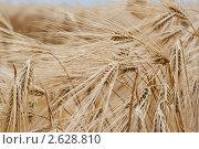 Купить «Колосья ржи», фото № 2628810, снято 28 июня 2011 г. (c) Алексей Букреев / Фотобанк Лори