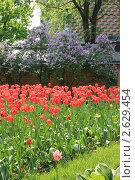 Красные тюльпаны на фоне сирени. Стоковое фото, фотограф Иван Козлов / Фотобанк Лори
