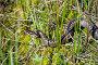 Гадюка на болоте, фото № 2632506, снято 3 июня 2011 г. (c) Икан Леонид / Фотобанк Лори