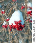 Красная калина на ветке под снегом. Стоковое фото, фотограф Александр Дашаев / Фотобанк Лори