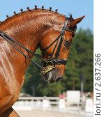 Купить «Выездка: портрет рыжей лошади», фото № 2637266, снято 1 июля 2011 г. (c) Абрамова Ксения / Фотобанк Лори