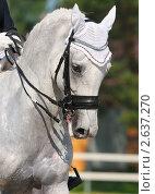 Купить «Выездка: портрет светло-серой лошади», фото № 2637270, снято 1 июля 2011 г. (c) Абрамова Ксения / Фотобанк Лори