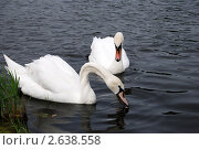 Два лебедя на пруду. Стоковое фото, фотограф Анжелика Сеннова / Фотобанк Лори
