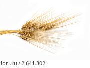 Купить «Колосья ячменя», фото № 2641302, снято 28 июня 2010 г. (c) Величко Микола / Фотобанк Лори
